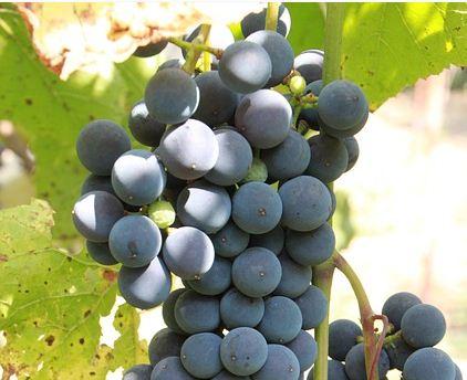 Bőséges szőlőtermést jósoltak a Bországgyűlésen Ópusztaszeren